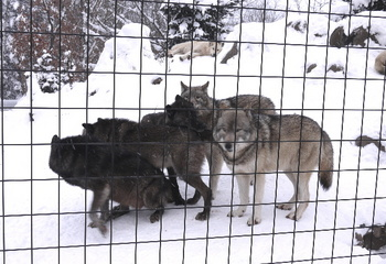シンリンオオカミ.jpg