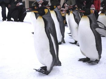 ペンギンの散歩.jpg