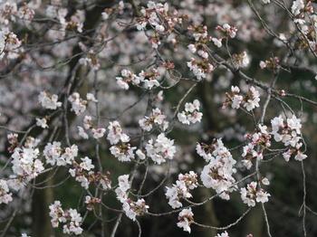 桜(topcor 50mm F2.0).jpg