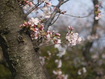 桜(topcor 50mm F2.0)1.jpg
