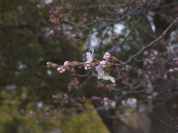 桜(Hexar 50mm F3,5).jpg